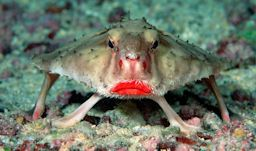 ruby lipped batfish