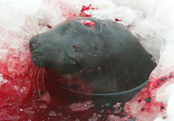 seal killed with a hooked club