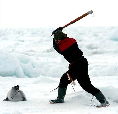 Atlantic Canadian killing a seal with a hooked club