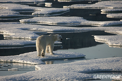 A polar bear in drifting and unconsolidated sea ice in Kane Basin, off Cape Clay, northern Greenland.