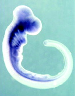 slug embryo